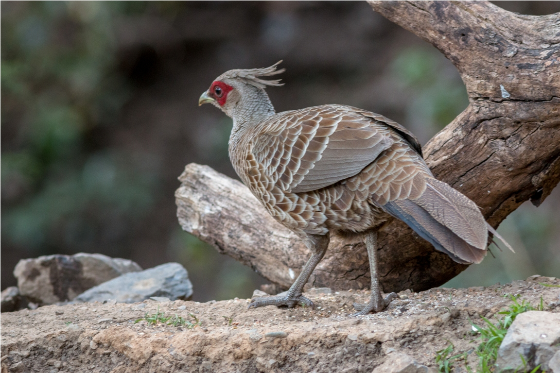 Kalij pheasant female — at Aamod at Bhimtal.