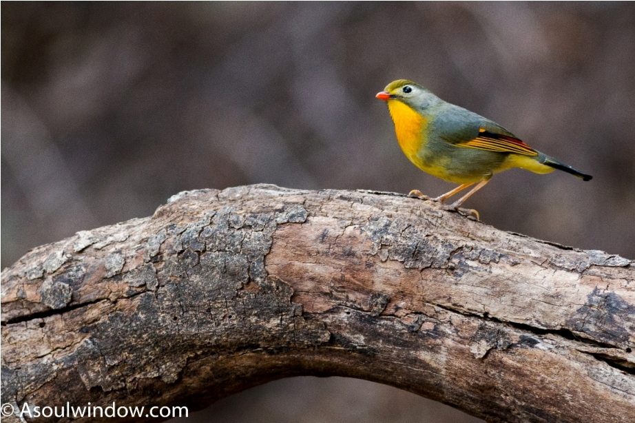 Red billed leiothrix — at Aamod at Bhimtal.