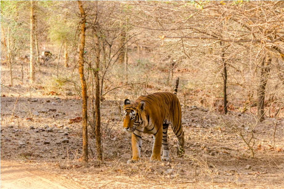 Kumbha T34 Tiger safari, Ranthambore National Park, zone 6 Rajasthan, Incredible India (7)