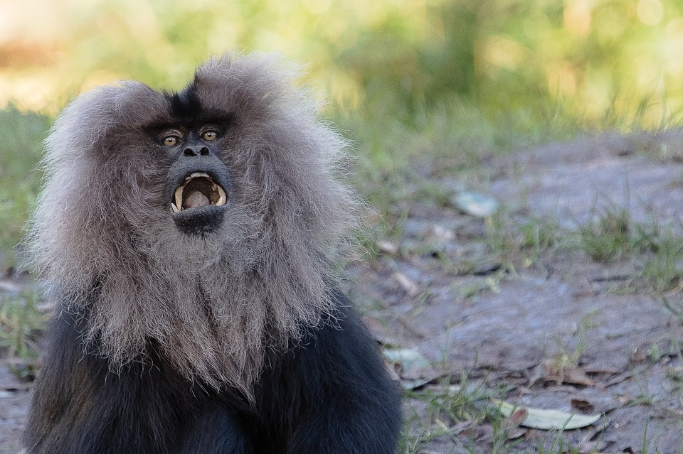 lion-tailed-macaque-1180329_960_720