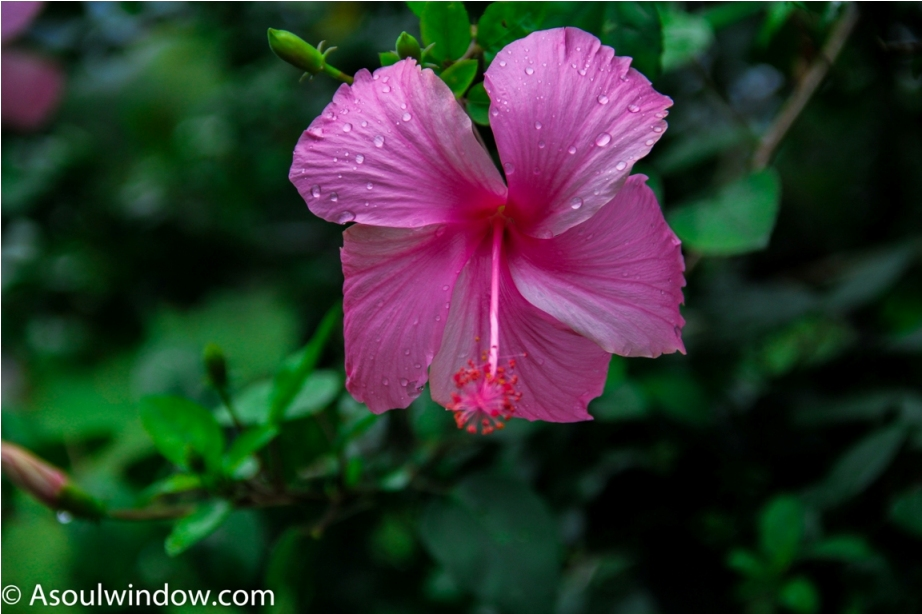 Hibiscus Gudhal Monsoon Maharashtra Incredible India