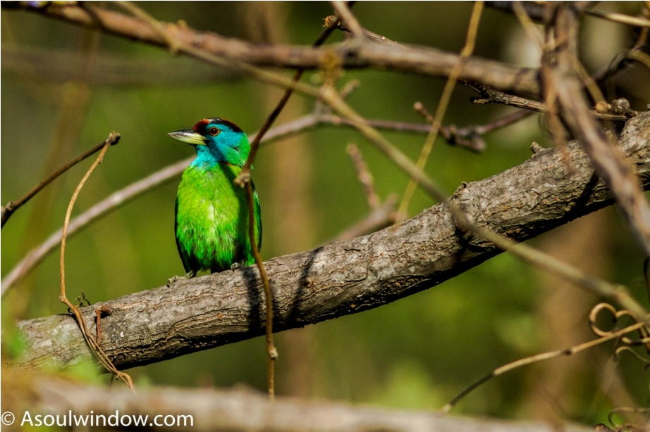 Blue Throated Barbet Sattal Bhimtal Nainital Uttarakhand Birdwatching India