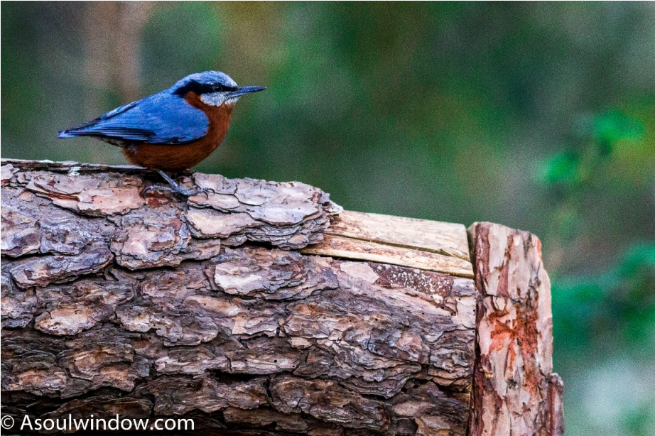 Chestnut bellied nuthatch Sattal Bhimtal Nainital Uttarakhand Birdwatching India