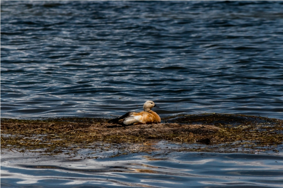 Ruddy Shelduck Brahminy duck Saga China Tibet