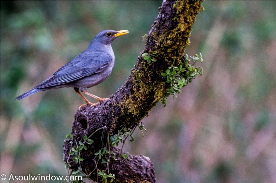 Tickells Thrush Male Sattal Bhimtal Nainital Uttarakhand Birdwatching India