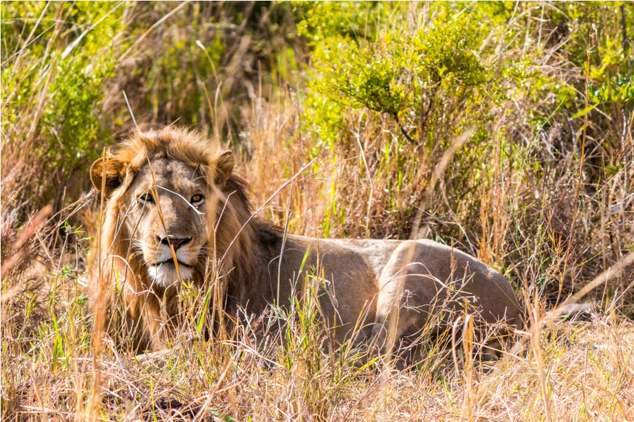 Lion Kidepo National Park Uganda Africa (4)