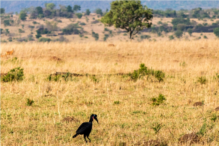 Abyssinian ground hornbill Kidepo National Park Uganda Africa (25)