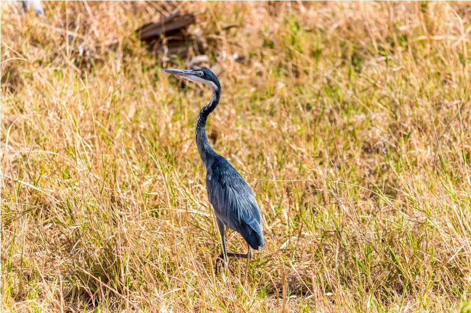 Black headed heron Kidepo National Park Uganda Africa (4)