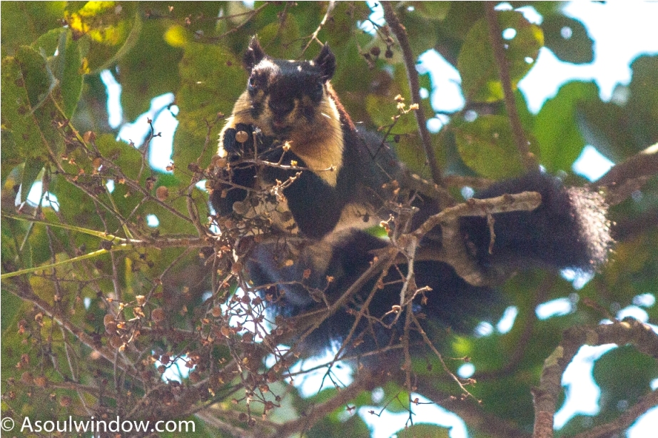 The black giant squirrel or Malayan giant squirrel Ratufa bicolor Manas National Park Bodoland Assam India (14)