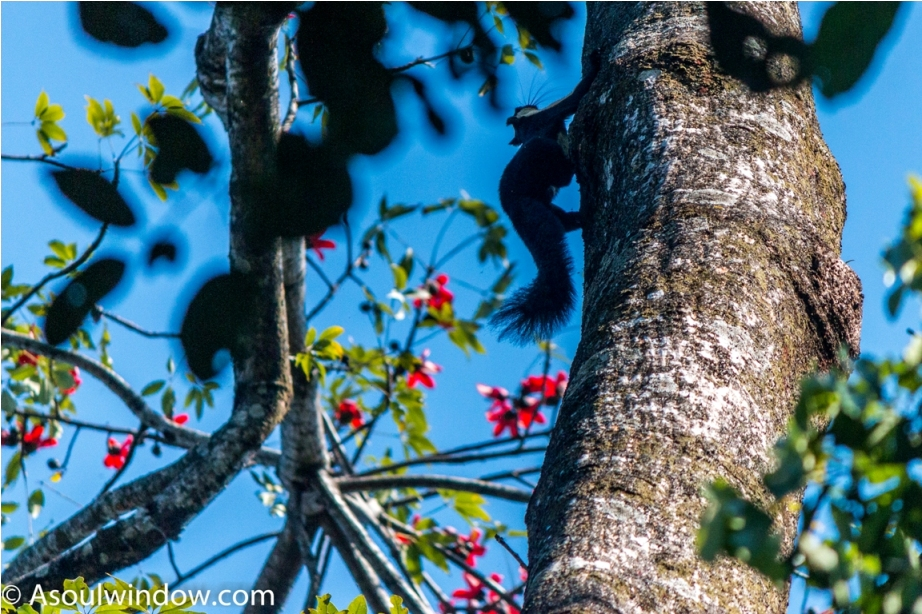 The black giant squirrel or Malayan giant squirrel Ratufa bicolor Manas National Park Bodoland Assam India (18)