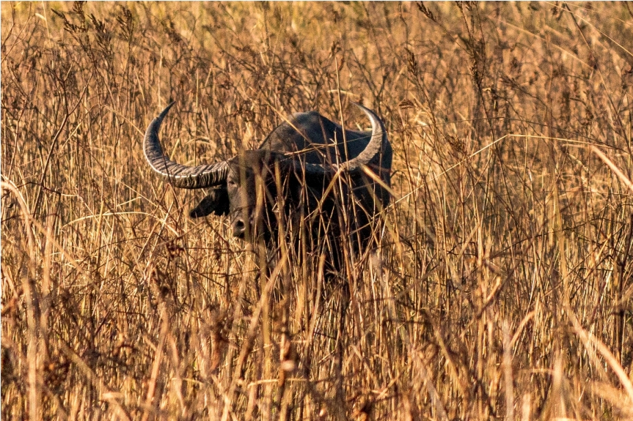 Wild Asian Buffalo Manas National Park Bodoland Assam India (2)