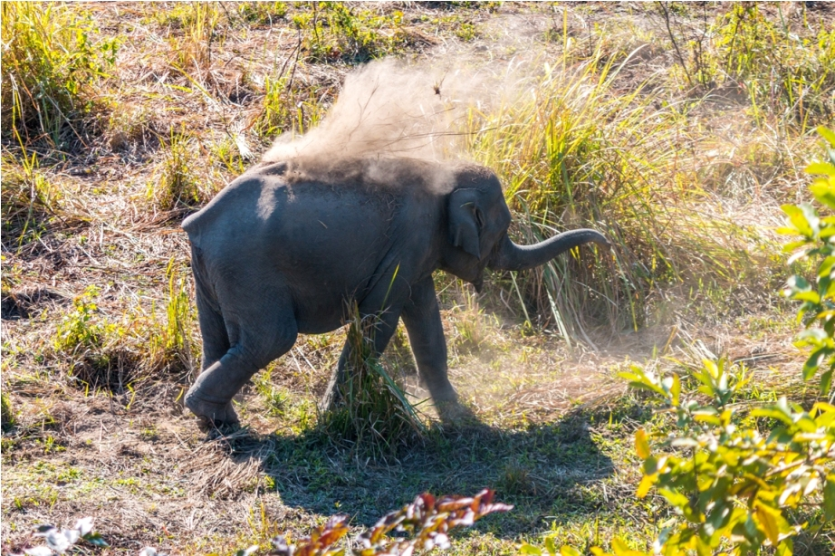Wild Elephant Manas National Park Bodoland Assam India (3)