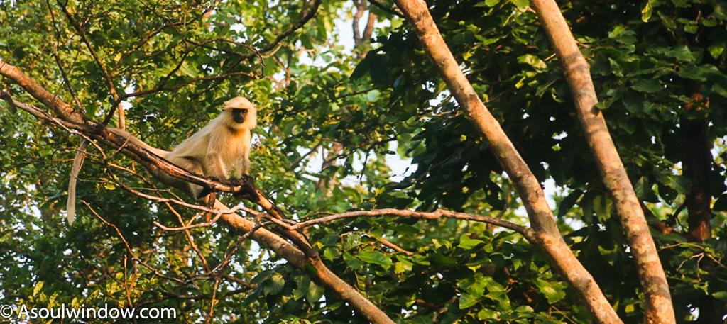Hanuman Langoor monkey