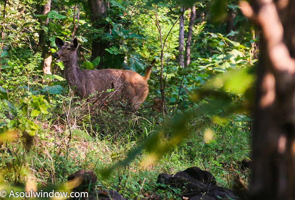 Sambar Deer aka Swamp deer in Satpura Forest