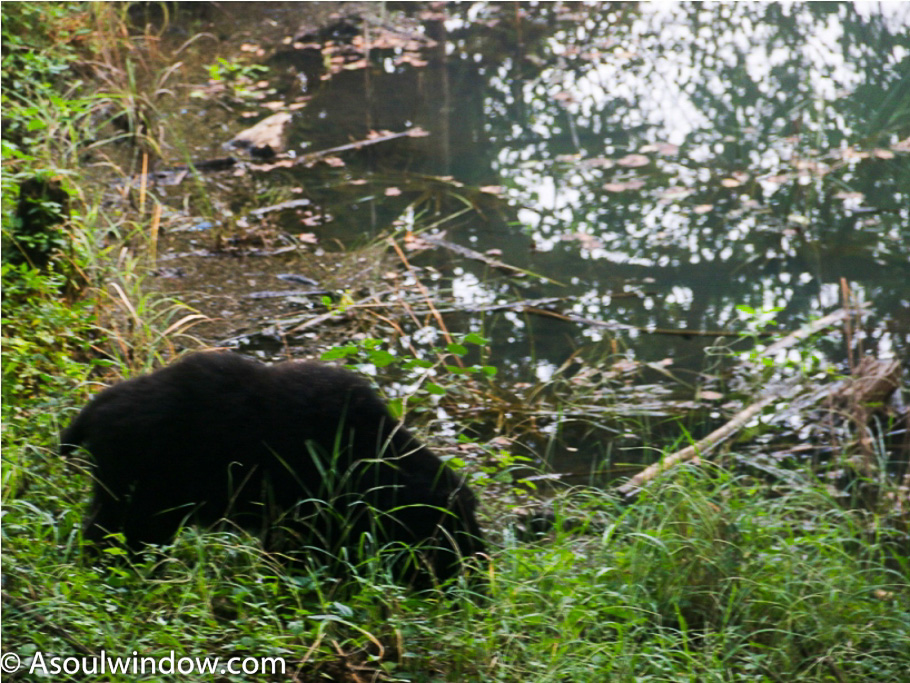 Black Sloth Bear